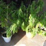 Marijuana Valenza2