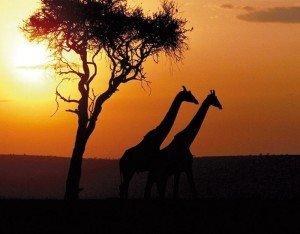 giraffe_al_tramonto