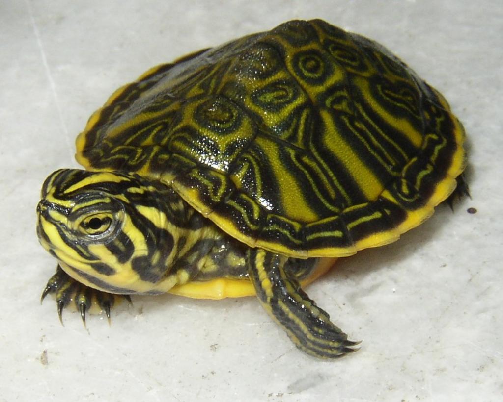 Traffico internazionale di tartarughe for Tartarughe di acqua dolce