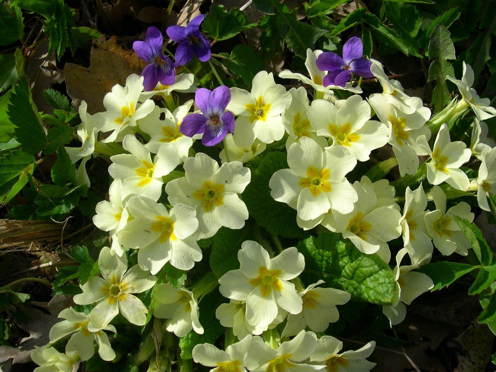 I fiori di primavera for Primule immagini